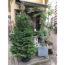 外国の童話に出てくるような〝もみの木〟発見!! こんなクリスマスツリー、欲しいなぁ…【はなっ葉゜】