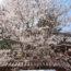 年に一度のお花見シーズンに、外出自粛要請&季節外れの積雪。。。せめて写真でお花見を…【千歳烏山 桜図鑑】